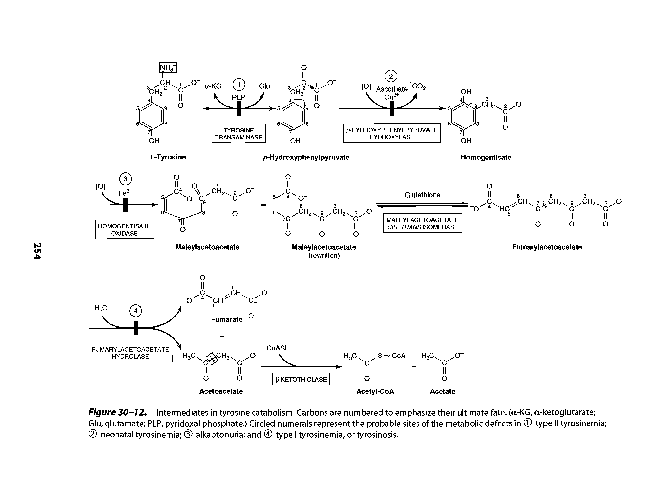 "Figure 30-12. Intermediates in <a href=""/info/tyrosine_catabolism"">tyrosine catabolism</a>. Carbons are numbered to emphasize their <a href=""/info/ultimate_fate"">ultimate fate</a>. (a-KG, a-ketoglutarate Glu, glutamate PLP, <a href=""/info/plp_pyridoxal_phosphate"">pyridoxal phosphate</a>.) Circled numerals represent the probable sites of the metabolic defects in type II <a href=""/info/neonatal_tyrosinemia"">tyrosinemia neonatal</a> tyrosinemia alkaptonuria and 0 type I tyrosinemia, or tyrosinosis."