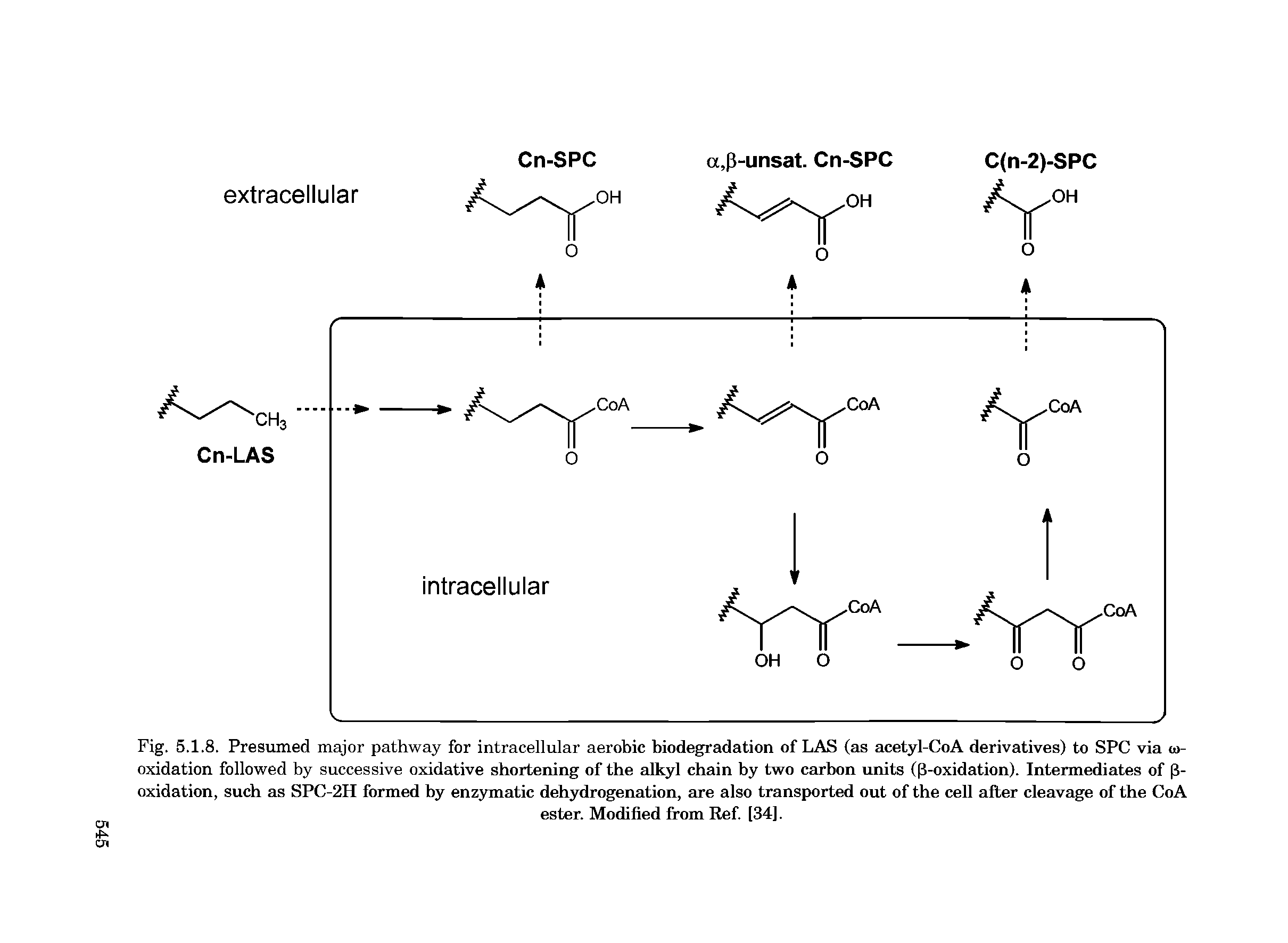 Fig. 5.1.8. Presumed major pathway for intracellular aerobic biodegradation of LAS (as acetyl-CoA derivatives) to SPC via w-oxidation followed by successive oxidative shortening of the alkyl chain by two carbon units ((3-oxidation). Intermediates of 13-oxidation, such as SPC-2H formed by enzymatic dehydrogenation, are also transported out of the cell after cleavage of the CoA...