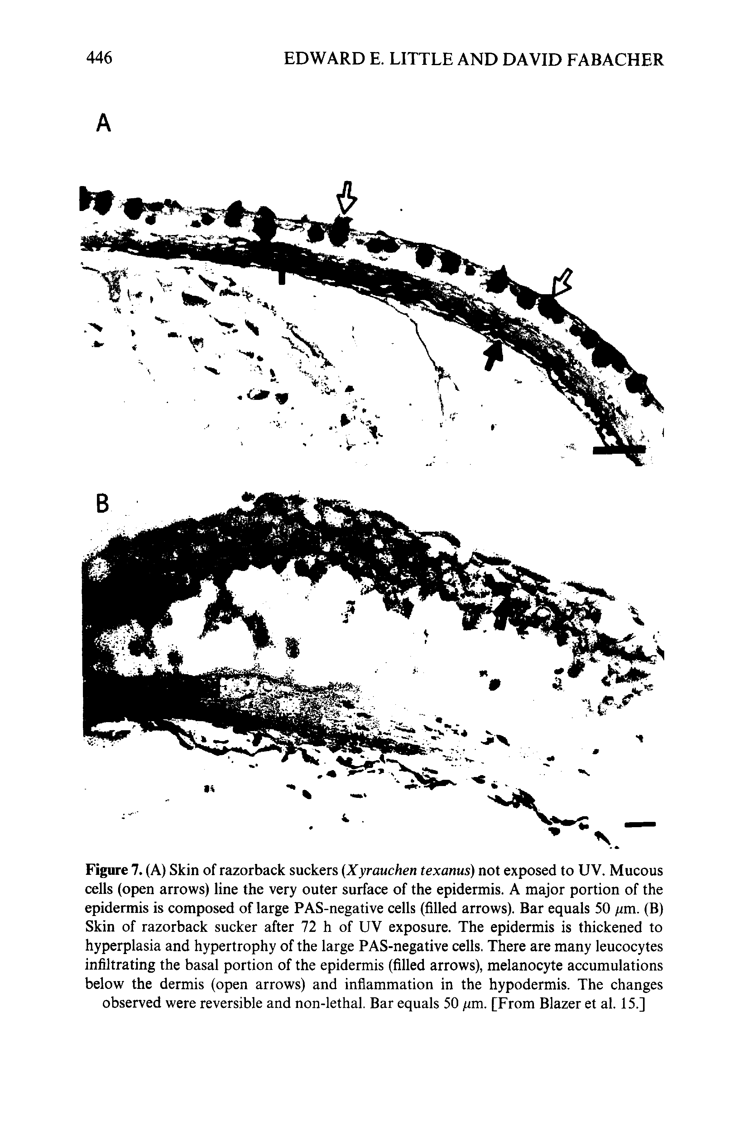 Figure 7. (A) Skin of razorback suckers Xyrauchen texanus) not exposed to UV. Mucous cells (open arrows) line the very outer surface of the epidermis. A major portion of the epidermis is composed of large PAS-negative cells (filled arrows). Bar equals 50 /zm. (B) Skin of razorback sucker after 72 h of UV exposure. The epidermis is thickened to hyperplasia and hypertrophy of the large PAS-negative cells. There are many leucocytes infiltrating the basal portion of the epidermis (filled arrows), melanocyte accumulations below the dermis (open arrows) and inflammation in the hypodermis. The changes observed were reversible and non-lethal. Bar equals 50 /zm. [From Blazer et al. 15.]...