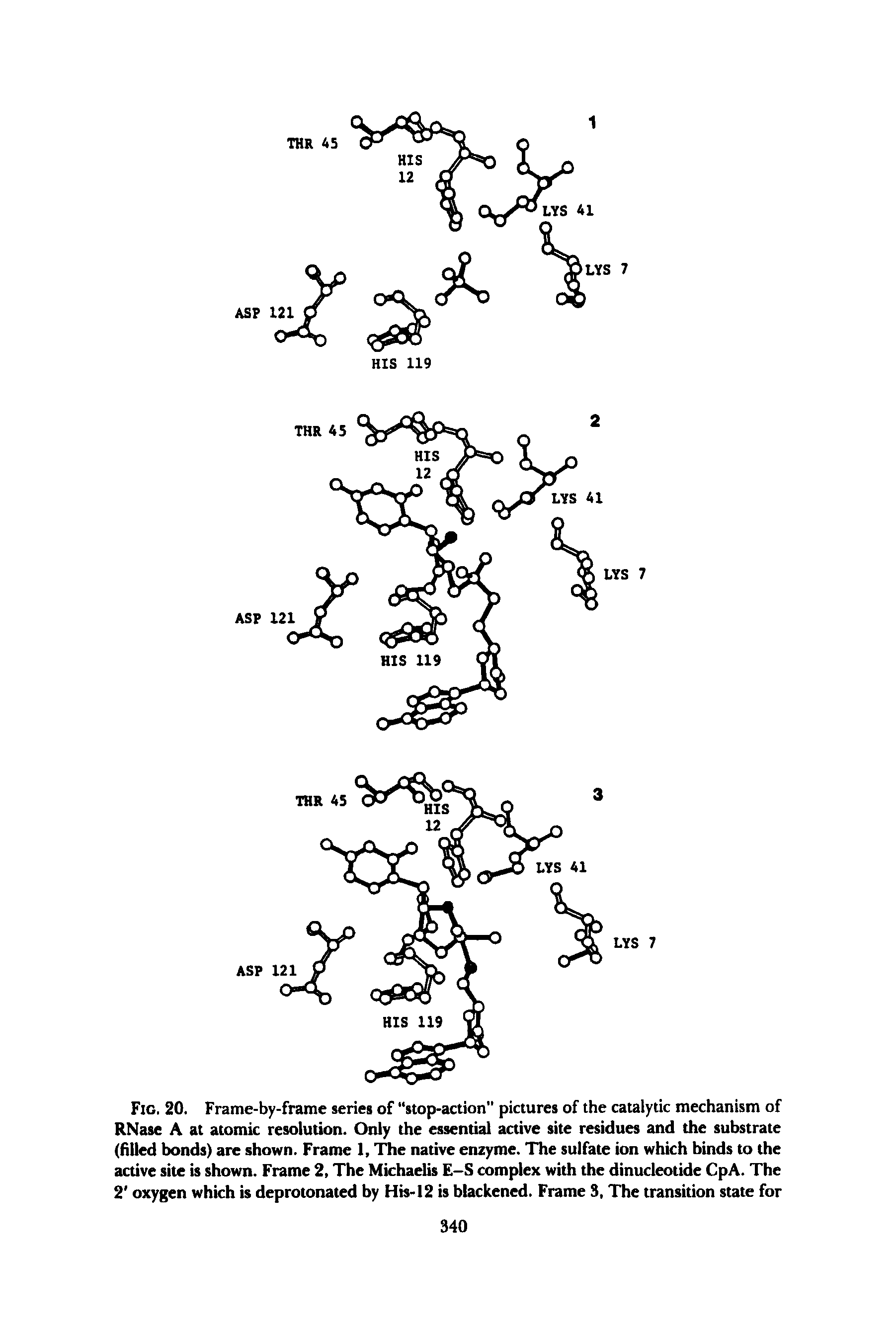 "Fig. 20. Frame-by-frame series of stop-action pictures of the <a href=""/info/catalytic_mechanism"">catalytic mechanism</a> of RNase A at <a href=""/info/atomic_resolution"">atomic resolution</a>. Only the essential <a href=""/info/active_site_residues"">active site residues</a> and the substrate (filled bonds) are shown. Frame 1, l e <a href=""/info/native_enzyme"">native enzyme</a>. The sulfate ion which binds to the <a href=""/info/active_sites"">active site</a> is shown. Frame 2, The Michaelis E-S <a href=""/info/complexes_with"">complex with</a> the dinucleotide CpA. The 2 oxygen which is deprotonated by His-12 is blackened. Frame 3, The transition state for"