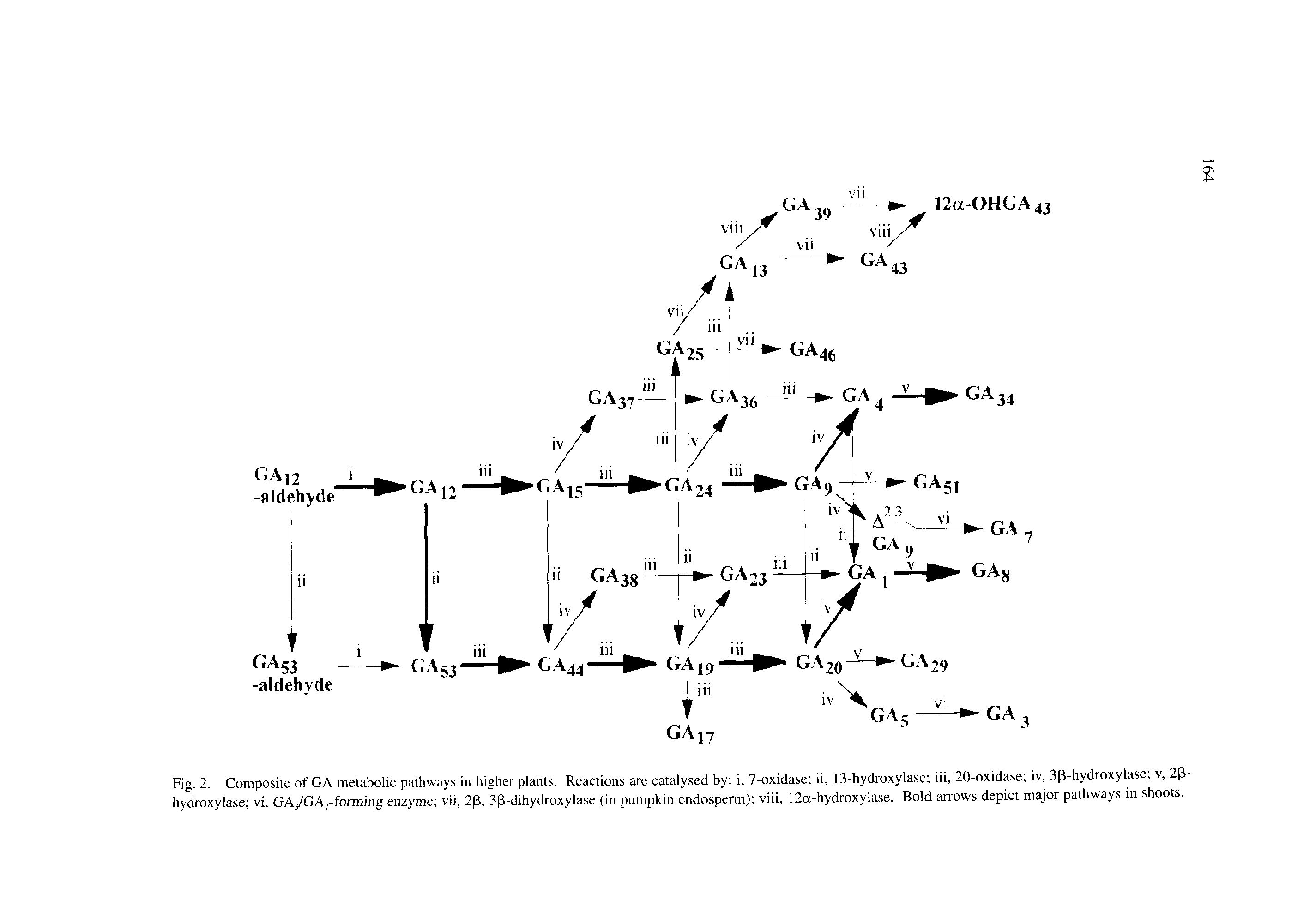 "Fig. 2. Composite of GA <a href=""/info/metabolic_pathways"">metabolic pathways</a> in <a href=""/info/plant_higher"">higher plants</a>. Reactions arc catalysed by i, 7-oxidase ii, 13-hydroxylase iii, 20-oxidase iv, 33-hydroxylase v, 23-hydroxylase vi, GA,/GA7-forming enzyme vii, 23, 33-dihydroxylase (in pumpkin endosperm) viii, 12a-hydroxylase. Bold arrows depict <a href=""/info/the_major_np_pathways"">major pathways</a> in shoots."